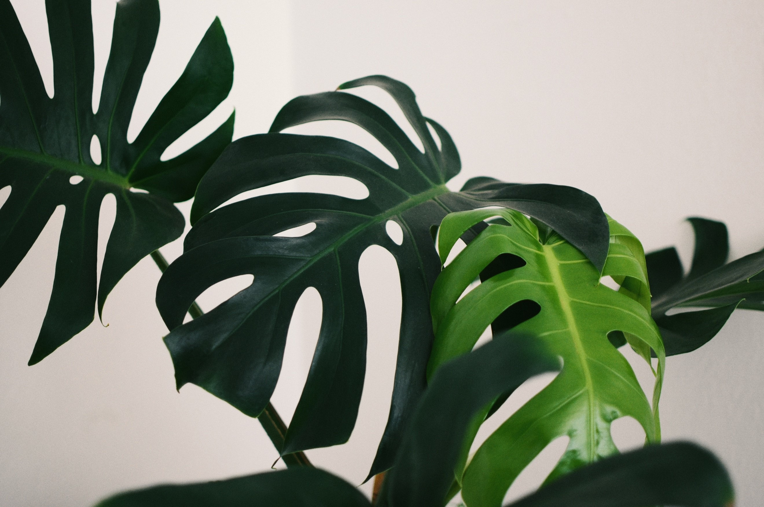 Plante d'intérieur à grandes feuilles vertes