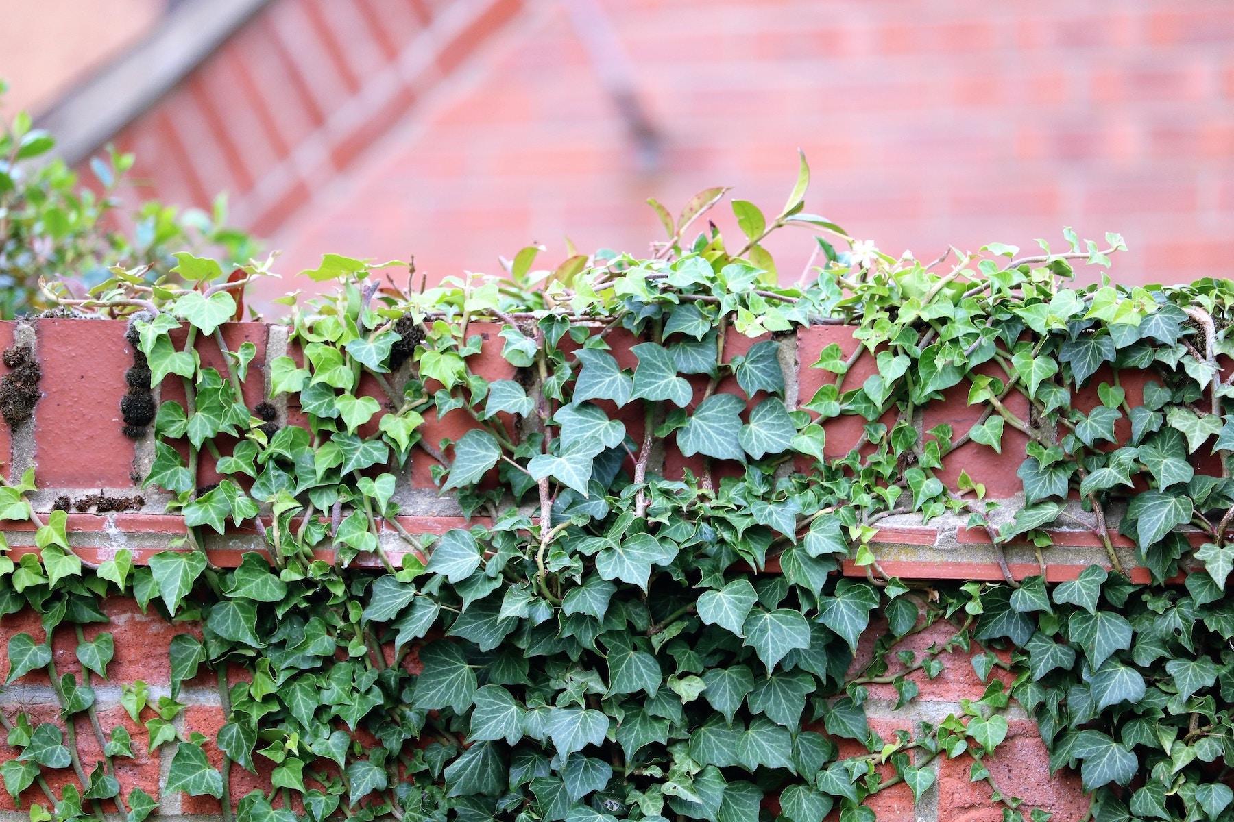 Vignes sur une clôture de bois extérieure