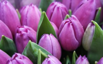 Bulbes de tulipes roses